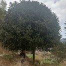 小张丹桂种植园13960644864
