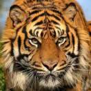 tiger王235