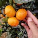 橘之意~海上生明月