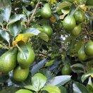 海南果苗种植基地