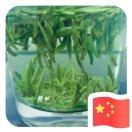 胡国有城东茶厂茯苓加工